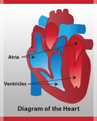 heart-diagram-simple-red